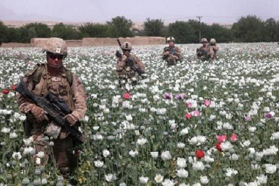 Afghan poppies 560