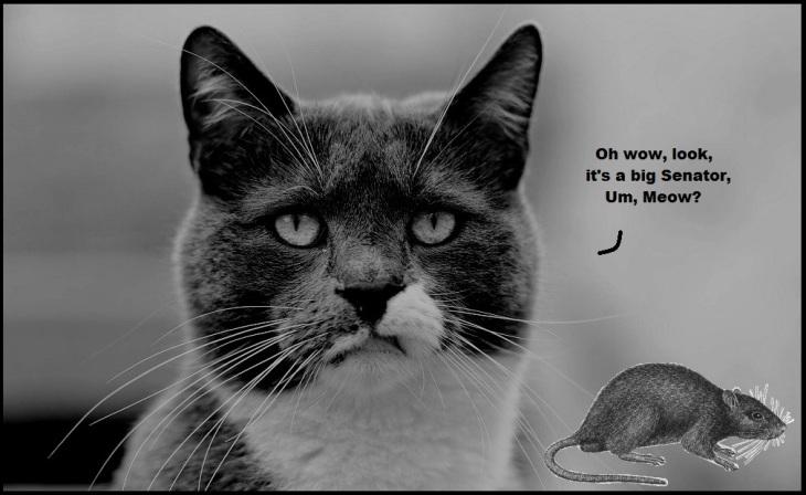 Dour cat x Senator rat BW 1000